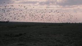 Troep van vogels die vanaf een groot gebied in de avond vliegen Langzame Motie stock footage