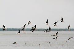 Troep van vogels tijdens de vlucht Stock Afbeelding