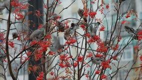 Troep van vogels van waxwings stock footage