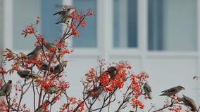 Troep van vogels van waxwings stock videobeelden