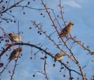 Troep van waxwings die op de bomen onder droge lijsterbessenbessen zitten Royalty-vrije Stock Foto