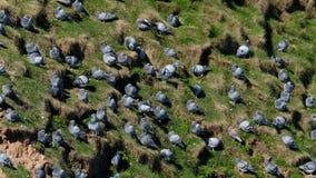 Troep van Wilde duiven op gras stock video