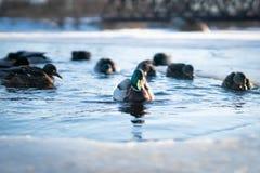 Troep van wilde eenden die in het koude water van een bevroren riviermeer of vijver in een licht van de de winterzonsondergang zw royalty-vrije stock afbeeldingen