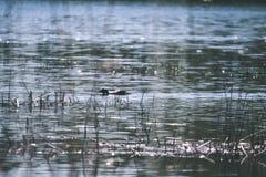 troep van wilde vogels die in water dichtbij kust rusten - uitstekende retro ziet eruit stock afbeelding