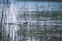 troep van wilde vogels die in water dichtbij kust rusten - uitstekende retro ziet eruit stock fotografie