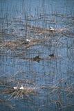 troep van wilde vogels die in water dichtbij kust rusten - uitstekende retro ziet eruit stock foto's