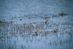 troep van wilde vogels die in water dichtbij kust rusten - uitstekende retro ziet eruit stock foto