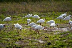 Troep van witte Amerikaanse ibis Stock Afbeelding