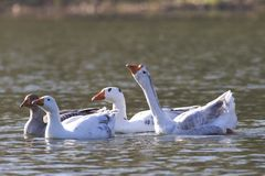 Troep van witte en grijze binnenlandse ganzen die op lpond zwemmen Stock Afbeeldingen
