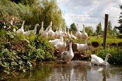 Troep van witte ganzen die de rivier ingaan Stock Fotografie
