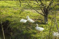 Troep van witte ganzen die op gras dichtbij vijver weiden Stock Foto