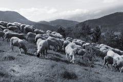Troep van witte schapen die in een weide op een zonnige dag weiden Royalty-vrije Stock Fotografie