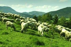 Troep van witte schapen die in een weide op een zonnige dag weiden Royalty-vrije Stock Afbeeldingen