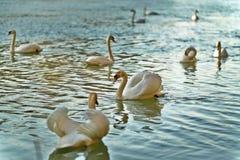 Troep van witte zwanen die op meer, geconcentreerde één zwemmen royalty-vrije stock afbeeldingen