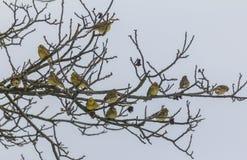 Troep van yellowhammers die op boomtakken zitten in de winter. Royalty-vrije Stock Afbeelding