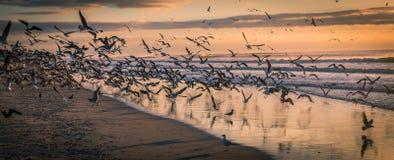 Troep van Zeemeeuwen bij strand bij zonsondergang stock afbeelding