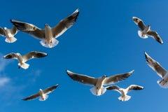 Troep van zeemeeuwen die op de hemel stijgen Royalty-vrije Stock Fotografie