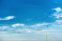 Troep van zeemeeuwen die over de kustlijn van La Jolla vliegen royalty-vrije stock fotografie