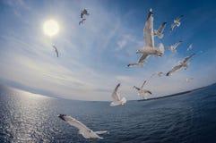 Troep van zeemeeuwen die over het overzees met een achtergrond van blauwe hemel vliegen, fisheye vervorming royalty-vrije stock foto