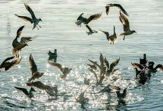 Troep van zeemeeuwen die over het overzees vliegen Stock Foto's