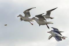 Troep van zeemeeuwen die voedsel proberen tijdens de vlucht te vangen Royalty-vrije Stock Afbeelding