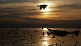 Troep van zeemeeuwvogels die bij zonsondergangoverzees vliegen stock video