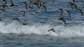 Troep van Zeevogels die over de Vreedzame Oceaan vliegen stock videobeelden
