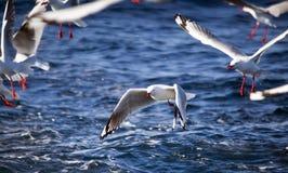 Troep van Zilveren Zeemeeuwen tijdens de vlucht, het Vliegen van de Zeemeeuw Royalty-vrije Stock Foto's