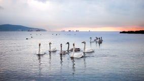 Troep van zwanen die bij zonsopgang gouden dageraad zwemmen Royalty-vrije Stock Fotografie
