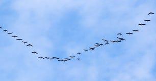 Troep van zwanen die tegen een blauwe hemel in het zuiden vliegen Royalty-vrije Stock Afbeeldingen