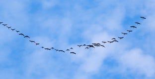 Troep van zwanen die tegen een blauwe hemel in het zuiden vliegen Royalty-vrije Stock Foto