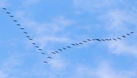 Troep van zwanen die tegen een blauwe hemel in het zuiden vliegen Royalty-vrije Stock Foto's