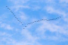 Troep van zwanen die tegen een blauwe hemel in het zuiden vliegen Stock Foto