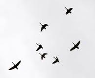 Troep van zwanen die tegen een grijze hemel in het zuiden vliegen Royalty-vrije Stock Foto