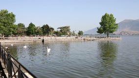 Troep van zwanen op het meer Ioannina stock footage