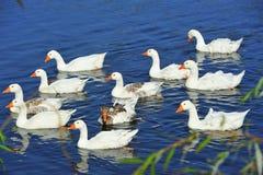 Troep van zwemmende witte ganzen stock foto