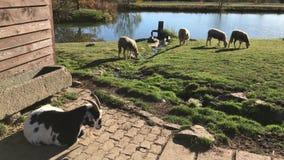 Troepen en kudden, geit en weidende schapen dichtbij water op zuivelfabriek stock video
