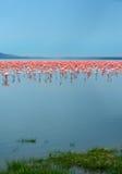 Troepen van flamingo Royalty-vrije Stock Afbeeldingen