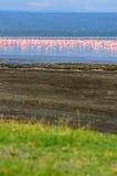 Troepen van flamingo Stock Foto's