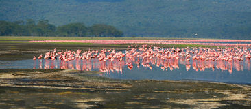 Troepen van flamingo Royalty-vrije Stock Afbeelding
