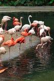 Troepen van flamingo's royalty-vrije stock foto's