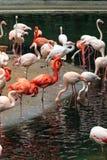 Troepen van flamingo's royalty-vrije stock fotografie