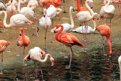 Troepen van flamingo's royalty-vrije stock afbeeldingen