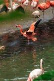 Troepen van flamingo's stock fotografie