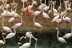Troepen van flamingo's stock afbeelding