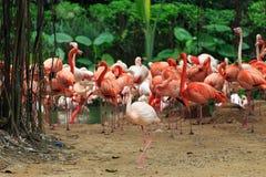 Troepen van flamingo's stock afbeeldingen