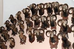 Trofé av moufflons Royaltyfria Bilder