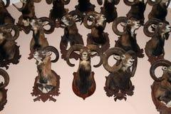 Trofé av moufflons Arkivbild