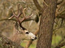 Troféu Buck Peeking Out fotografia de stock royalty free