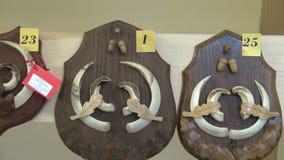 Troféu da caça Chifres dos chifres e crânio do osso de cervos e de varrão de ovas video estoque